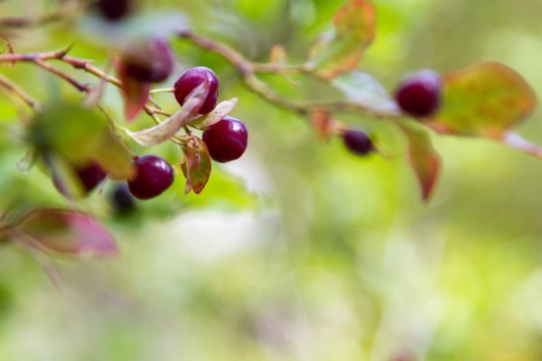 Государственный фрукт Айдахо