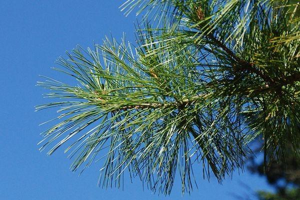 Государственное дерево штата Айдахо
