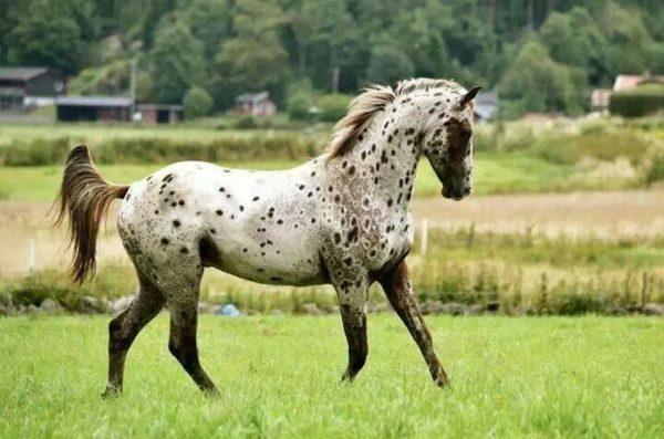 Государственный конь Айдахо