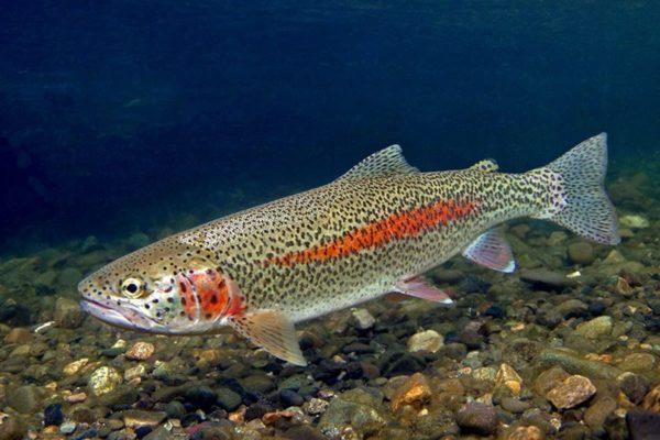 Государственная рыба