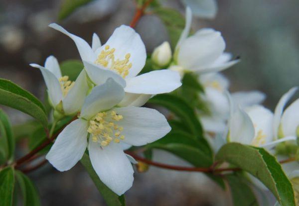 Государственный цветок Айдахо